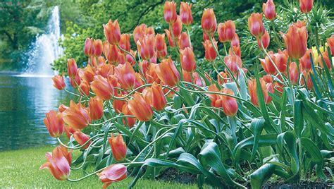 amsterdamse bloemen tulpen tulpen uit amsterdam i amsterdam