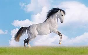 10 Amazing White Horse Wallpapers HD - Tapandaola111