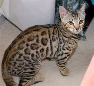 cats for free adoption f4 bengal cat for rehoming for adoption from
