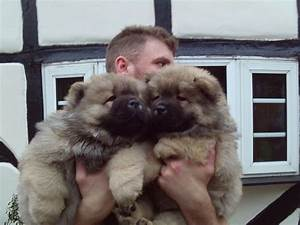 Male and Female Chow Chow Puppies for Adoption - Dogs ...