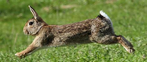 cuisiner le lapin de garenne chasse devant soi en sologne