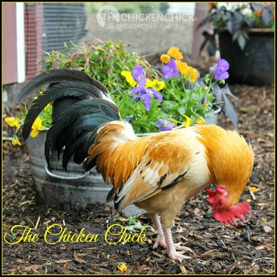 how do you cook capon chicken how to chickens or hen or rooster the chicken 174