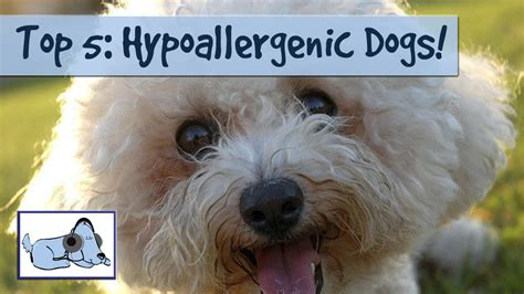 Non Shed Dogs List by Hypoallergenic Dogs List The Best Breeds For
