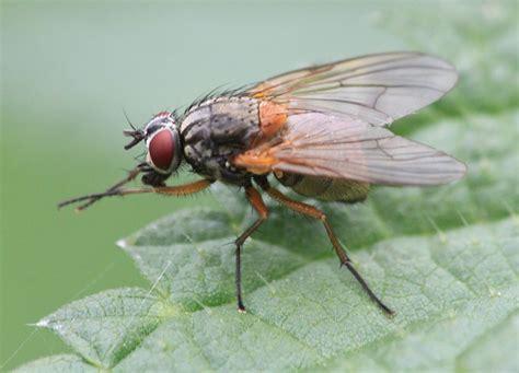 Mydaea corni | NatureSpot