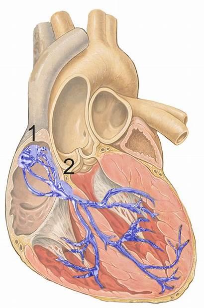 Node Atrioventricular Wikipedia Av Sa Heart Nodes