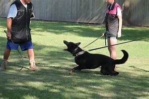 more than just sit stay advanced dog training circle k9 With advanced dog training