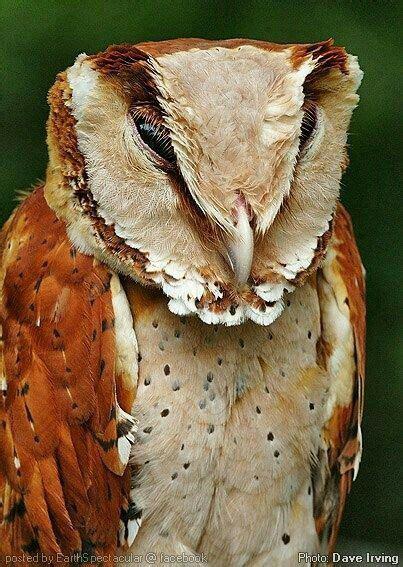 owl bay oriental bird