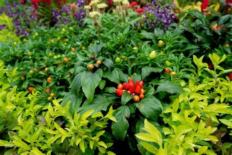 companion plants  peppers     friends