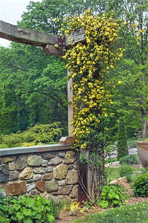 Best 25+ Climbing Flowering Vines Ideas On Pinterest