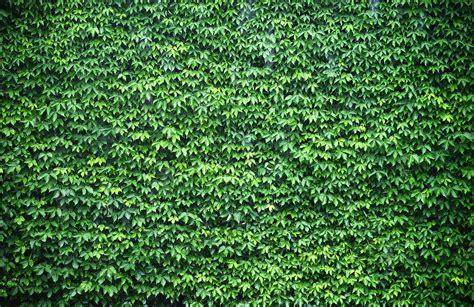 wall  green ivy wallpaper wall mural muralswallpapercouk