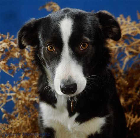 Dog Black White Border Collie Photo