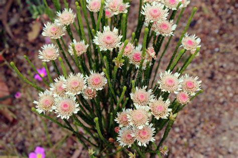 West Australian Native Wildflower Albany Daisy Stock Photo
