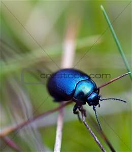 Image 4216142: Blue beetle from Crestock Stock Photos