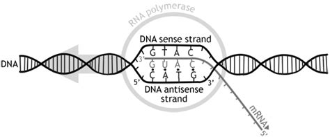 difference between template strand and coding strand difference between sense and antisense strand sense vs antisense strand