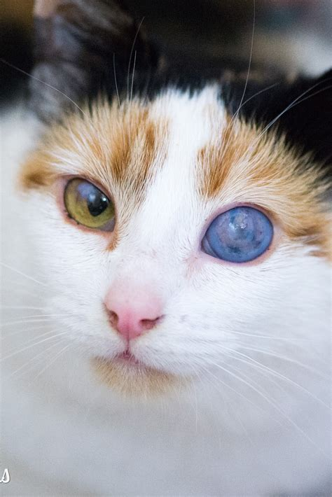 kitten eye color when do kittens change color paperwingrvice web