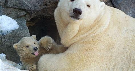 como aser un polar maqueta alerta ecol 243 gica los polares en peligro de