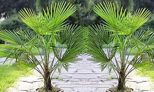 Palme Winterhart Kübel : winterharte k bel palme groupon goods ~ Michelbontemps.com Haus und Dekorationen