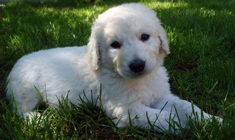 kuvasz shedding puppies puppy dog index breeds newcastlebeach