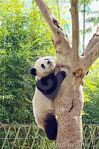 Production Management A Panda Climbing The Tree Royalty Free Stock Images