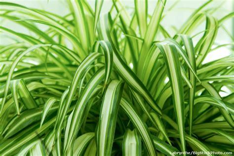 spider plant chlorophytum related keywords chlorophytum long tail keywords keywordsking