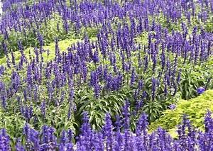 Lavendel Sorten übersicht : salvia farinacea 39 mauritius 39 hrensalbei in hellgr nem pilea ~ Eleganceandgraceweddings.com Haus und Dekorationen