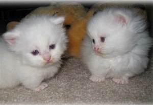 adopt munchkin cat pin munchkin kittens for adoption on