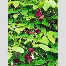 Best 25+ Climbing Flowering Vines Ideas Only On Pinterest