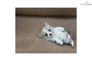 Mini Pembroke Welsh Corgi Puppies