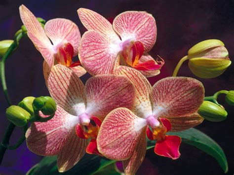 orchids flowers pictures flowers wallpapers orchids flowers wallpapers