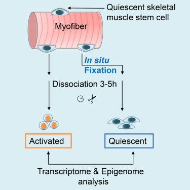 fixation redefines quiescence  early activation