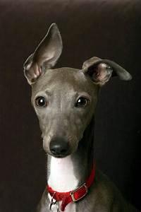 Italian Greyhound Dog Breed Standard ~ Breeds of small ...