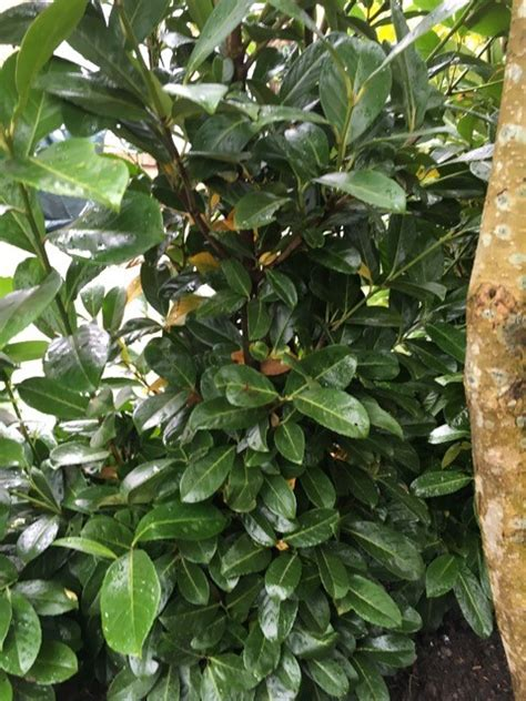 Kirschlorbeer Bekommt Gelbe Blätter kirschlorbeer bekommt gelbe blätter portugiesischer kirschlorbeer
