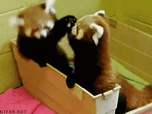 Red Panda GIF - Find & Share on GIPHY