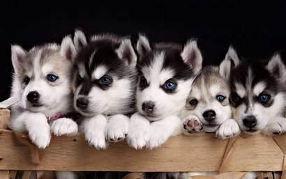 Husky Puppies Siberian