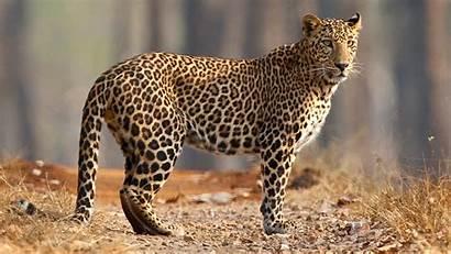 Leopard India Park National Kanha Leopards Balaghat