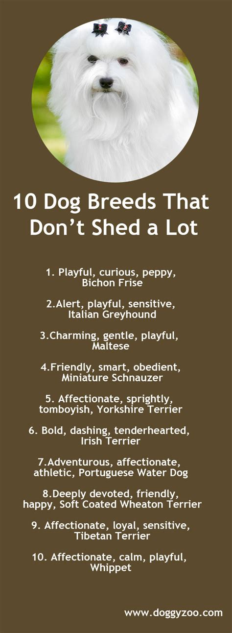 dogs that dont shed a lot 10 breeds that don t shed a lot doggyzoo