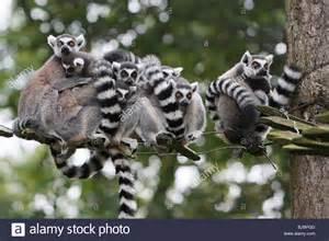 ring tailed lemur lemur catta family huddling together on stock photo royalty free