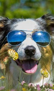 Furry dog, sunglass, wildflowers, funny animal 1080x1920 ...