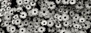 Download Black & White Daisies HD wallpaper for Facebook ...