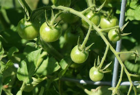 tomaten im topf ᑕ ᑐ d 252 nger f 252 r tomaten im topf welcher ist der beste