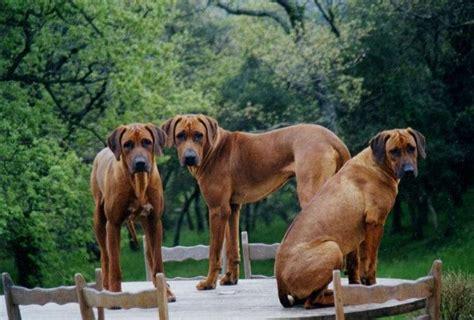 rhodesian ridgeback dogs  puppies images