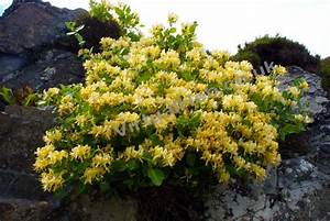 Honeysuckle - Western Isles Wildflowers - Hebridean Flowers