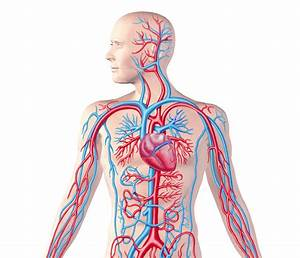 The Circulatory System Archives