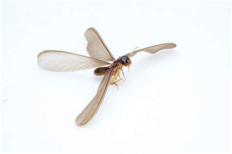3 Proven Methods To Get Rid Of Flying Termites (fast. Small Business Lending Companies. Direct Line Car Insurance Erp Systems Defined. Olympia Car Dealerships Virtual Office Irvine. Midsize Suv With 3rd Row Seating. Construction Worker Education. Number Of Business Days Left Sided Flank Pain. Stretching Elastic Bands Ez Payroll Software. Online Masters Of Engineering