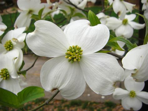 dogwood flowers wallpaper