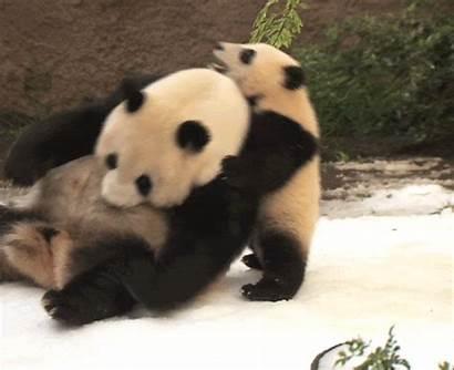 Zoo Panda Funny Pandas Giphy Gifs Bear