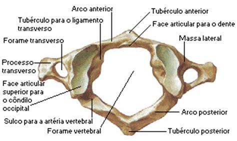 Vertebraten Anatomie Atlas pdf herunterladen