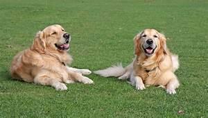 dogs golden retriever free stock photo domain