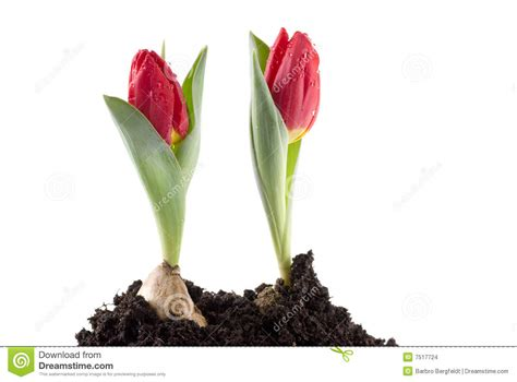 Two Growing Tulips Stock Images