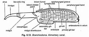 Digestive System Of Branchiostoma  With Diagram